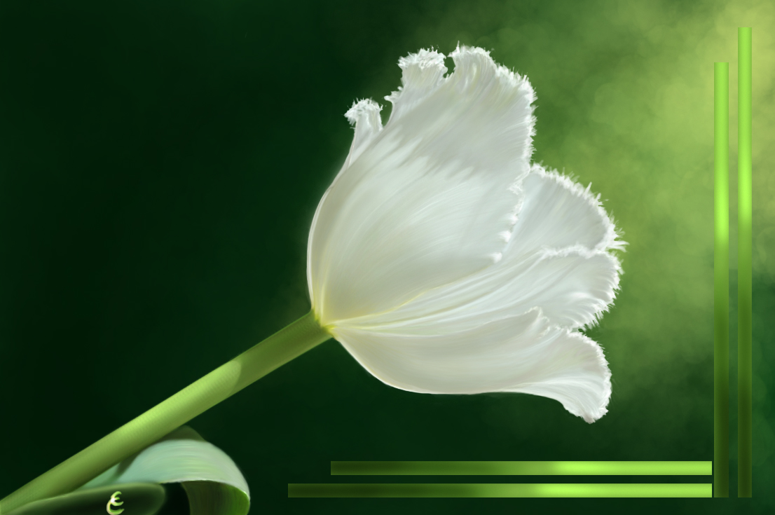 Tulip Putih Wallpaper