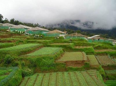 kebun hijau