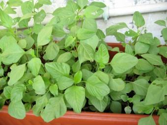 Tips Berkebun Bayam di Pekarangan Rumah