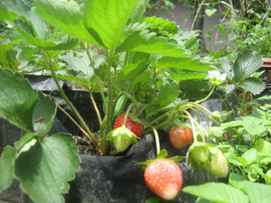 BAGAIMANA Berkebun Strawberry di Pot