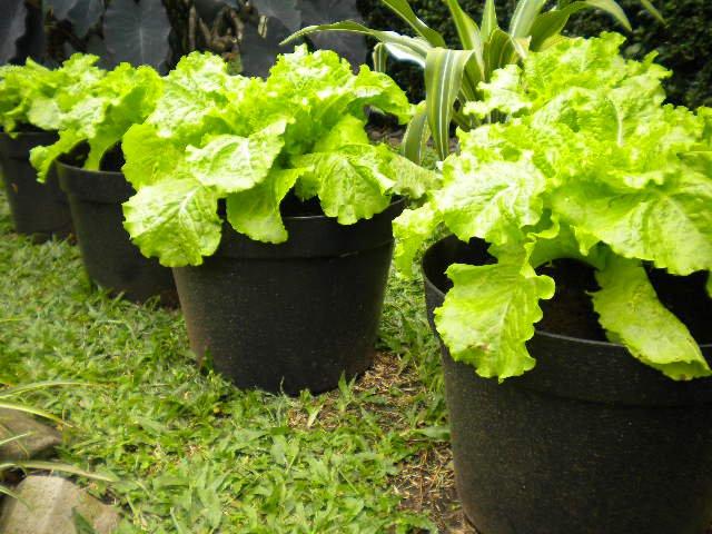 sayuran pot