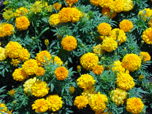 marigold - pengusir nyamuk