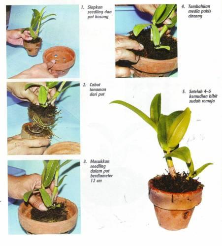 memindahkan seedling