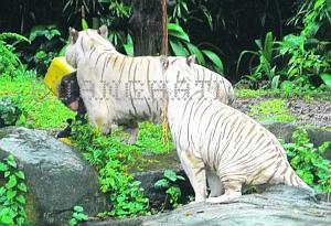 Geger Video Macan Putih Mangsa Manusia